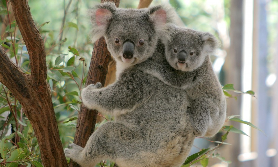 Koala-Mother-and-Joey-940x564